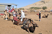 Israel, Negev Desert, Mamshit the Nabataean city of Memphis, re-enactment on the life in the Nabatean period. Tourists ride on a camel convoy following the Incense Road. Camels at rest