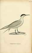 common tern from the 1825 volume (Aves) of 'General Zoology or Systematic Natural History' by British naturalist George Shaw (1751-1813). Shaw wrote the text (in English and Latin). He was a medical doctor, a Fellow of the Royal Society, co-founder of the Linnean Society and a zoologist at the British Museum. Engraved by Mrs. Griffith