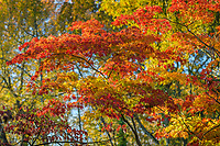 Maple leaves changing color durring the autumn season.