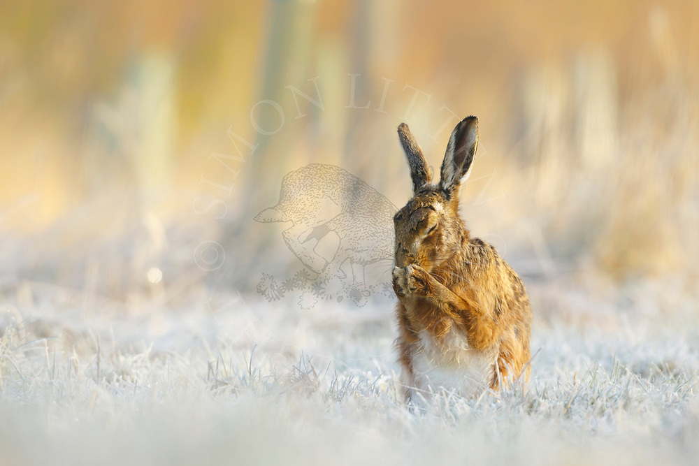 European Hare (Lepus europaeus) adult cleaning itself in frost covered grass margin, South Norfolk, UK. April.