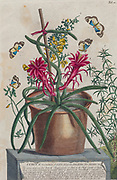 A blooming cactus (Cereus) Engraving, hand-colored print of plants and butterflies from Plantae et papiliones rariores (rare plants and butterflies) by Ehret, Georg Dionysius, 1708-1770 Published in London in 1748