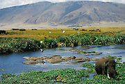 Elephant and hippos in pool in Ngorongoro Crater in Serengeti National Park, Tanzania, East Africa