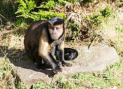 """Pictured: <br /> <br /> Squirrel monkeys and capuchins (smaller of the two types) at Edinburgh Zoo were given a bounty of boiled eggs dipped in food colouring. It's not just kids who get excited about receiving Easter eggs; the troops of primates at Living Links were just as egg-cited to receive a selection of brightly coloured, animal-friendly Easter eggs. The keepers have prepared a bounty of boiled eggs dipped in food colouring, which they hid in the outdoor areas of the Living Links Centre for the capuchins and squirrel monkeys to find. <br /> <br /> Donald Gow, Team Leader for Living Links and Budongo at RZSS Edinburgh Zoo, said: """"The squirrel monkeys and capuchins will love their Easter treats, as boiled eggs are one their favourite types of food. By hiding the eggs in their outdoor enclosure it acts as enrichment as it stimulates the primates' natural foraging abilities. They are also very inquisitive animals and will enjoy searching for their brightly coloured treats.""""<br /> <br /> Ger Harley 