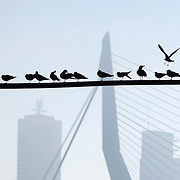 Nederland Rotterdam 19 december 2007 .Skyline van Rotterdam met op de voorgrond meeuwen, achtergrond montevideo, erasmusbrug .Foto David Rozing
