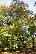 Chinese beech tree, Fagus Engleriana, National arboretum, Westonbirt arboretum, Gloucestershire, England, UK