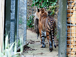 © Licensed to London News Pictures. 26/03/2014. London, UK. Mum Melati takes the cubs inside.  Three of the world's rarest tiger cubs have made their public debut just in time for Mothers' Day, exploring the outdoor paddock of their home at ZSL London Zoo's Tiger Territory. The seven-week-old cubs joined mum, Melati, when she ventured outside to stretch her legs on Wednesday afternoon, and appeared delighted with their new play area. The cubs, who won't be named until keepers know if they are boys or girls, have been spotted playing in their custom-built cub conservatory area, but this is the first time that they've ventured outside into the main paddock. Photo credit : ZSL/LNP