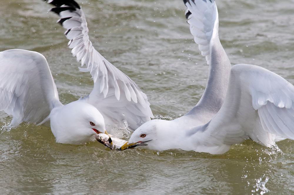 Ring-biiled Gulls, Larus delawarensis, adults fighting over Gizzard Shad, Dorosoma cepedianum, Detroit River, Ontario