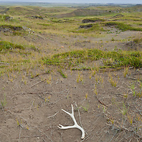 deer antler on montana prairie, native short grass prairie, wild prairie, montana,