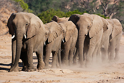 A family herd of desert-adapted elephants (Loxodonta africana) slowly walking through the desert toward a water hole, Skeleton Coast, Namibia,Africa