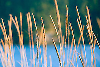 Closeup of wild grass with water in background&amp;#xA;<br />
