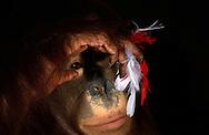 Deutschland, DEU, Krefeld, 2004: Projekt ueber die biologischen Wurzeln der Mode. Die Shootings hierfuer wurden mit Grossen Menschenaffen, die dem Menschen am naechsten sind, im Krefelder Zoo gemacht. Die Tiere waren weder zahm noch trainiert. Die Kleidungsstuecke wurden in die Gehege geworfen und was immer die Tiere damit anstellten, taten sie aus sich selbst heraus. Ein Eingreifen oder gar eine Regie war unmoeglich. Da das Verhalten der Affen im Mittelpunkt stand, wurden die Hintergruende von den Originalfotografien entfernt. Das Orang-Utan-Weibchen Lea mit den Federn einer Federboa aus dem Kostuem Haus in Freiburg. | Germany, DEU, Krefeld, 2004: Project to look at the basics and roots of fashion. The shootings took place in the Zoo Krefeld with three species of Great Apes who are the nearest to us. The animals were neither tamed nor trained. Whatever the animals did, they did on their own. Any intervention or directing was impossible. To set the focus on the behaviour of the animals itself we removed the background from the original photographs. Orang Utan (Pongo pygmaeus) female Lea with feathers of a  feather boa, seen at  Kostuem Haus in Freiburg. |