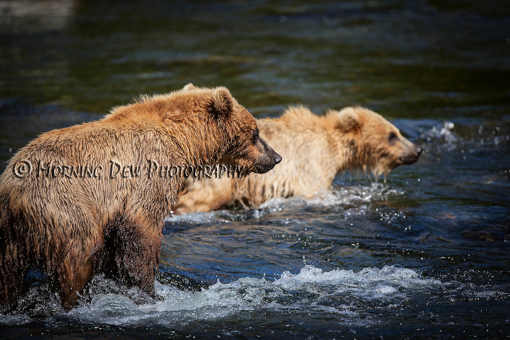 Holly's two cubs, one natural and one adopted, search for salmon in the Riffles along Brooks River