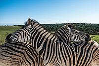 Burchell's Zebra, Addo Elephant National Park, Eastern Cape, South Africa