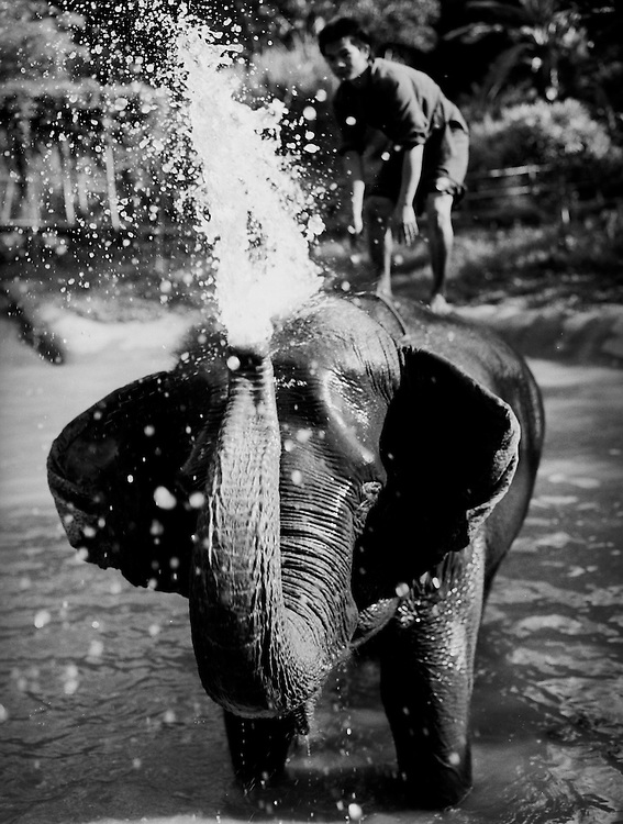 Elephants bathing at the Four Seasons Golden Triangle resort