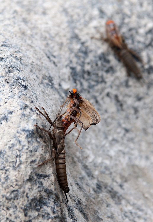 An adult salmon fly emerges from its nymph exoskeleton along a river bank.