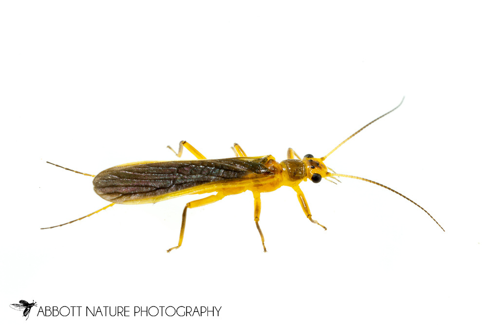 Stonefly (Perlesta sp.)<br /> United States: Alabama: Tuscaloosa Co.<br /> Tulip Tree Springs off Echola Rd.; Elrod<br /> 8-Jun-2016<br /> J.C. Abbott #2828 &amp; K.K. Abbott