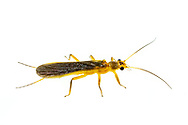 Stonefly (Perlesta sp.)<br /> United States: Alabama: Tuscaloosa Co.<br /> Tulip Tree Springs off Echola Rd.; Elrod<br /> 8-Jun-2016<br /> J.C. Abbott #2828 &amp; K.K. Abbott