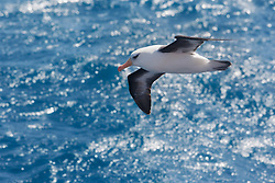 Campbell Albatross (Thalassarche impavida) near Campbell Islands south of New Zealand
