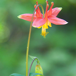 Sitka Columbine (Aquilegia formosa), Desolation Peak Trail, North Casacdes National Park, Washington, US