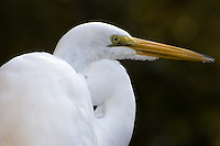 Close-up profile of the great egret in Homosassa Springs in Citrus County, Florida. This is a great place for viewing a huge variety of wildlife!