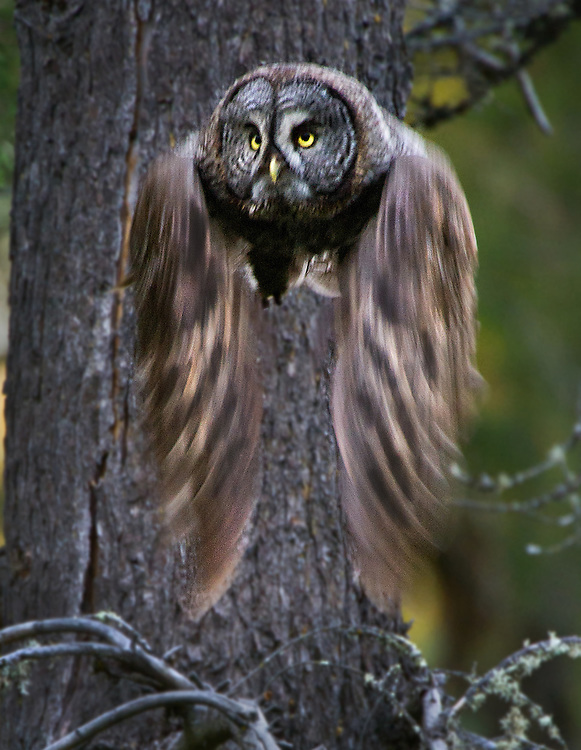 A female Great Gray Owl takes flight in the hills of Mount Aukum as she watches her young nearby in the trees. The Great Gray Owl is one of the most majestic and rare birds in North America. Until recently, it's been found in California almost exclusively around Yosemite, in mountain meadows. Now that's changed --  three pairs are nesting, in of all places, outside Placerville, startling scientists and bird watchers. What's more, they are nesting not in untrammeled wilderness but on a logging company's land.  Mount Aukum is a small foothills town south of Placerville, and north of Jackson is were the bird were found. July 7, 2011.