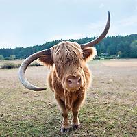 Bull with lopsided horns, Saltspring Island, British Columbia, Canada