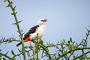 White-headed buffalo weaver or white-faced buffalo-weaver (Dinemellia dinemelli) is a species of passerine bird in the family Ploceidae native to East Africa. The buffalo part of its name derives from its habit of following the African buffalo, feeding on disturbed insects. Photographed at Serengeti, Tanzania in April
