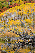Willow branches reflect in a beaver pond in the San Juan Mountains, Uncompaghre National Forest, near Ridgway, Colorado.