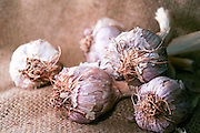 Allium sativum Garlic bulbs