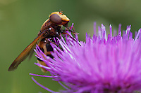 Hornet-mimic Hoverfly (Volucella zonaria) on thistle.  Pont-du-Chateau, Auvergne, France.
