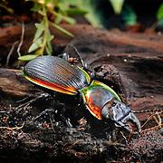 Red-bordered ground beetle AKA fiddle or violin beetle, Mouhotia batesi.