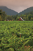 Bear Creek Vineyard, Illinois River Valley, southern Oregon.
