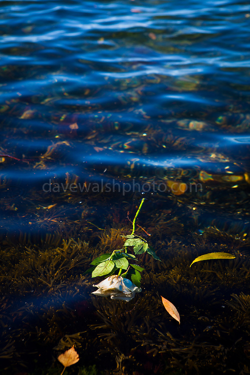 White Rose, floating in Oslofjord, Oslo, Norway.