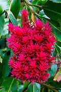 Ginger Flower, Lyon Arboretum. Manoa Valley, Honolulu, Oahu, Hawaii