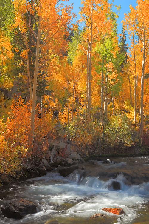 Bishop Creek Aspens -  Fall Color