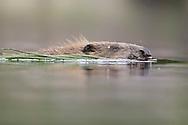 European beaver (castor fiber) swimming across forest lochan, Knapdale Forest, Argyll, Scotland.