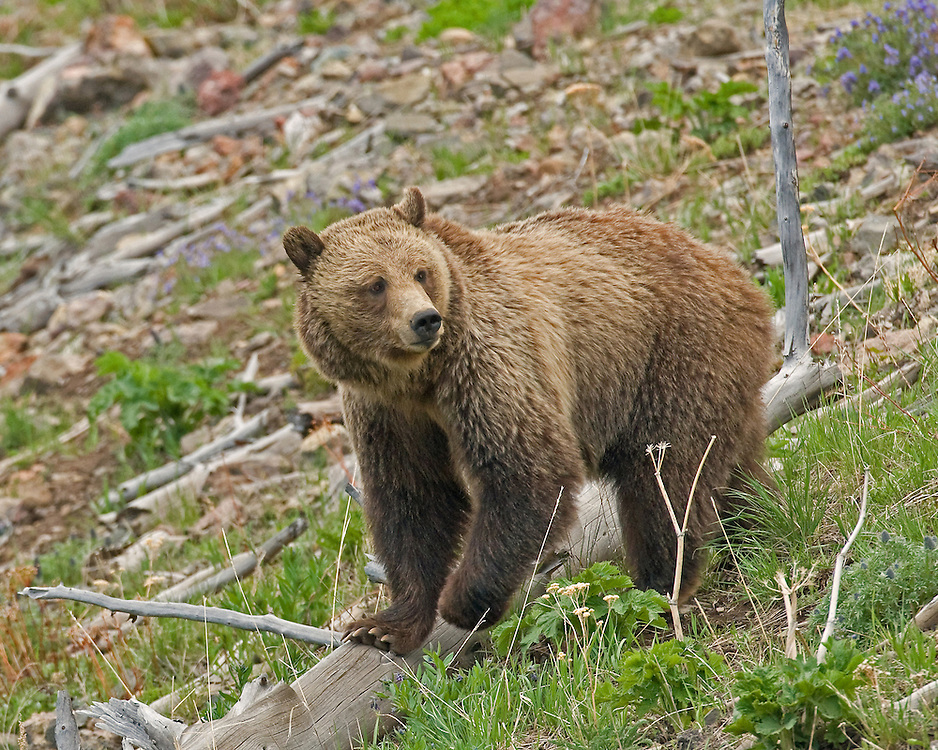 Due to the harsh climate and limited food sources in the Greater Yellowstone Ecosystem, this female grizzly may have a home range of up to 500 square miles. Range sizes may vary from year to year, based on food availability. In years when above average rainfall produces lush vegetation, this bears' home range may shrink substantially.