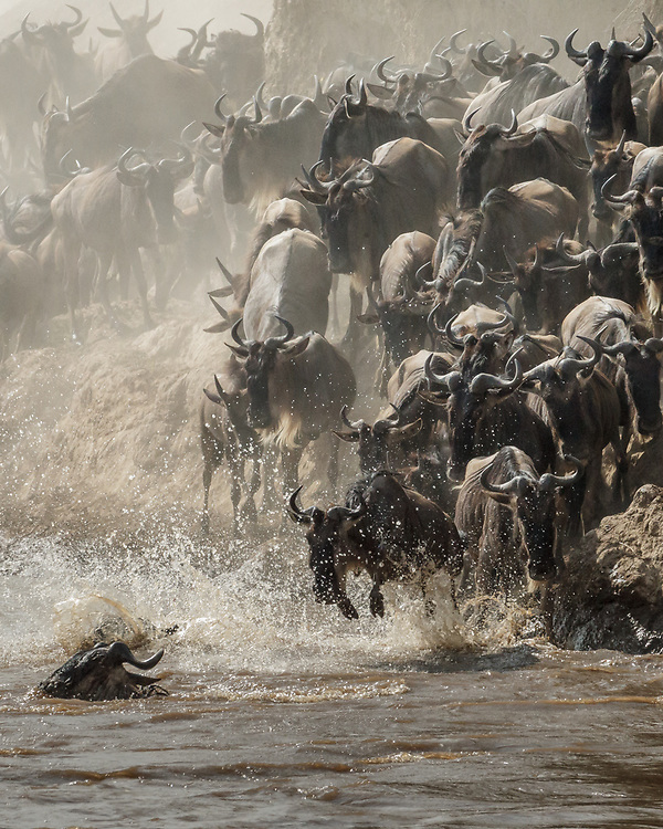 Connochaetes taurinus, crossing Mara River, Kenya