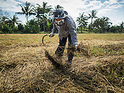"""23 NOVEMBER 2016 - AYUTTHAYA, THAILAND: A worker picks up rice in a field during the rice harvest in Ayutthaya province, north of Bangkok. This rice plants in the field were flattened by a wind storm and the worker was trying to salvage some of the rice. Rice prices in Thailand hit a 13-month low early this month. The low prices are hurting farmers. Rice exports account for around 10 percent of Thailand's gross domestic product, and low prices frequently lead to discontent in the rural areas of Thailand. The military government has responded by sending soldiers to rice mills, to """"encourage"""" mill owners to pay farmers higher prices. The Thai army and navy are also buying for their kitchens directly from farmers in an effort to get more money into farmers' hands.  PHOTO BY JACK KURTZ"""
