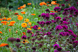 Dianthus barbatus 'Oschberg' with Calendula officinalis 'Indian Prince' (Prince Series) in the cutting garden. Sweet William and Marigolds