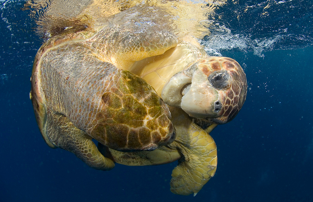 A pair of mating Loggerhead Sea Turtles (Caretta caretta) in Palm Beach, FL.  Approximately half of the world's population of Loggerheads (20k) call Florida home.