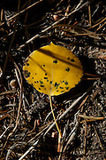BEST3 An Aspen leaf is seen on the ground among pine needles along Peak to Peak Highway west of Longmont.<br /> Matthew Jonas / Staff Photographer Sept. 17, 2015