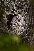 Tawny owl (Strix aluco) Nymphenburg, Germany | Waldkauz (Strix aluco) ruht am Tage in einer Baumhöhle. Wald-Kauz; Kauz; Käuzchen; Nymphenburg, Deutschland