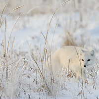 Churchill, Canada<br /> Perfectly suited to its environment, an arctic fox on the prowl brushes by a blade of grass, spilling its load of snow to the ground...Look closely at the eyes of the Arctic Fox - one pupil is larger than the other....<br /> If you're fortunate to see the fall/winter sun in the arctic, you know the low angle it follows will guarantee top quality light for photography at any hour it is shining. As November turns to December the sun barely blips the horizon, and this high-quality, but rapidly diminishing, light may make for interesting pictures, it also presents challenges to any wildlife that live there.<br /> <br /> This is winter time in the arctic, and the animals here are ready to handle it. The most obvious winter adaptation of the arctic fox is the white fur. This fur is also the most dense fur of any land animal yet studied, providing excellent insulation. But if you look closely at the eyes of this white fox, you may notice two things. The first is that the pupils are slits, and the second is that shadowed eye is significantly more dilated than the bright eye. The moment before, this fox was looking towards the sun with both eyes, and the pupils were more or less equal in size.<br /> <br /> The arctic fox is crepuscular, preferring twilight, so it must adeptly handle this transition from light to dark (or vice-versa). The slit pupils and acute sensitively to light are an adaptation for these conditions. And the arctic fox is particularly well suited for the almost perpetual twilight it experiences for so many months each year. Alternatively, in summer the slits may also protect the eye by restricting the amount of light that can enter during the long hours of daylight.<br /> <br /> Canon EOS 1DX, Canon EF 600mm f/4 L IS II USM, Canon Extender EF1.4&times; III, handheld<br /> 1/500s; f/9; 840mm; ISO800