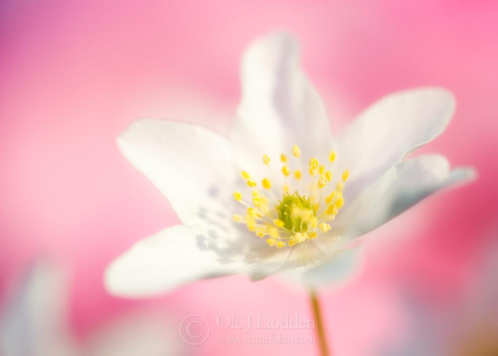 White Anemone (Anemone nemorosa)