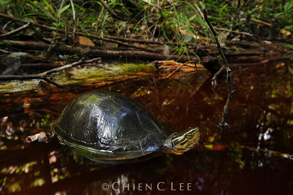 The Malayan Box Turtle (Cuora amboinensis) is one of the commonest turtles in Borneo and occurs in a wide variety of habitats. Here a mature specimen enters the tanin-colored waters of a small creek in heath forest.