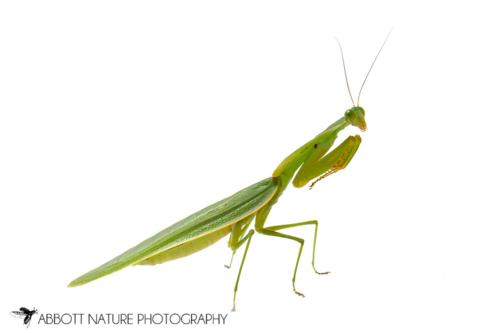 shield mantis, hood mantis (or hooded mantis), or leaf mantis (Choeradodis sp.)<br /> BELIZE: Cayo District <br /> Ian Anderson's Caves Branch Lodge near Armenia<br /> 10-Aug-2015<br /> J.C. Abbott &amp; K.K. Abbott