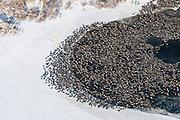 Mallards, Anas platyrhynchos, American Black Ducks, Anas rubripes, Ontario, Canada