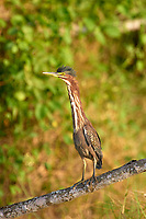 Arthur R. Marshall Loxahatchee National Wildlife Reserve, Wellington, Florida, USA. Green Heron (Butorides virescens)   Photo: P