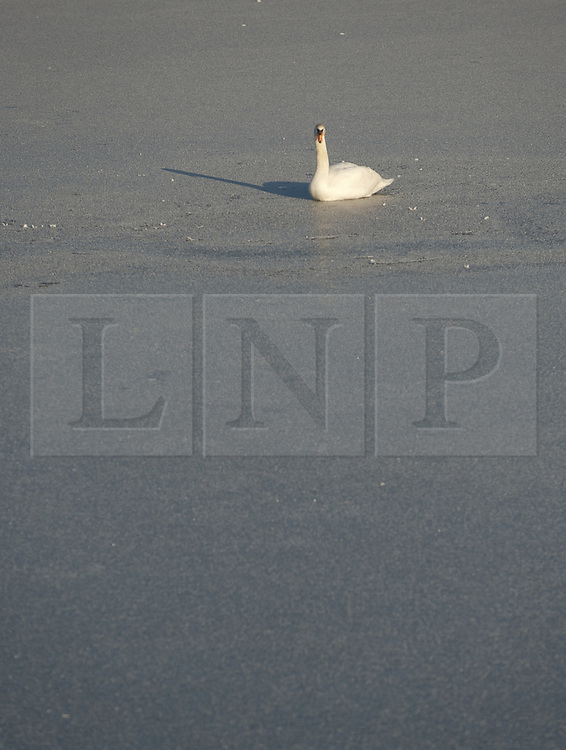 © Licensed to London News Pictures. 17/01/2013..South Gare, Teesside, England..An ice cold winter fog blankets an area known as South Gare on Teesside as this swan sits it out on an ice covered pond...Photo credit : Ian Forsyth/LNP
